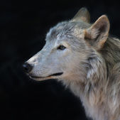 Side face portrait of an arctic wolf female, isolated on black background. The molting polar wild dog, representative of severe and cold North. Wild beauty of the nature. — Stock Photo