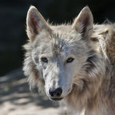 Eye to eye with an arctic wolf female. The molting polar wild dog, representative of severe and cold North. Wild beauty of the nature. The sunlit head of the dangerous beast. — Stock Photo