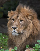 Portrait of a lying Asian lion, resting in forest shadow. The King of beasts, biggest cat of the world. The most dangerous and mighty predator of the world. Wild beauty of the nature. — Stock Photo