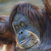 Coquettish look of an orangutan female. Face portrait of the expressive great ape. Beauty of the human like monkey. One of the most clever primate. — Stock Photo