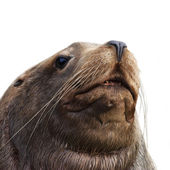 The head of a northern sea lion, eumetopias jubatus. The huge and fat beast - clumsy on the beach and deft in water. The biggest eared seal, inhabitant of the northern part of Pacific Ocean. — Stock Photo
