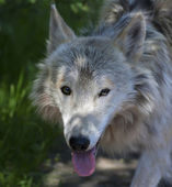 Dodgy look of a molting polar wolf on shaddy forest background. The dangerous beast is a representative of the severe wildlife of the cold North. Arctic wild dog. — Stock Photo