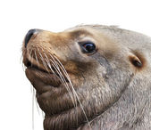 The side look of a northern sea lion, eumetopias jubatus. The huge and fat beast - clumsy on the beach and deft in water. The biggest eared seal, inhabitant of the northern part of Pacific Ocean. — Stock Photo