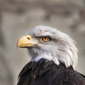The head of a bald eagle, haliaeetus leucocephalus, on gray background. Side face portrait of American eagle, US national character, very beautiful bird looking like a tyrant on the tribune. — Stock Photo