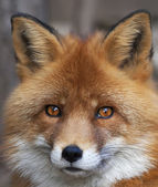 Face portrait of a red fox male, vulpes vulpes. The head a beautiful forest beast. Smart look of a dodgy wild dog, skilled raptor and elegant animal. Cute and cuddly creature. — Stock Photo