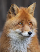 Portrait of a red fox male, vulpes vulpes. The head a beautiful forest wild beast. Smart look of a dodgy wild dog, skilled raptor and elegant animal. Cute and cuddly creature. — Stock Photo