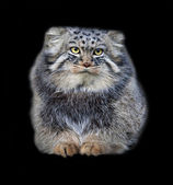 Animal portrait of a Pallas' cat, or manul cat, or otocolobus manul, or asian wild cat, or Felis manul. Cute and cuddly small beast, like plush toy, isolated on black background. — Stock Photo