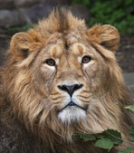 The face portrait of a calm lion. The head of the King of beasts, biggest cat of the world. The most dangerous and mighty predator of the world. Beauty of the wild nature. — Stock Photo