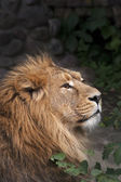 The side face portrait of a calm lion. The King of beasts, biggest cat of the world. The most dangerous and mighty predator of the world. Beauty of the wild nature. — Stock Photo
