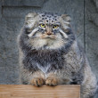 Animal portrait of a Pallas' cat, or manul cat, or otocolobus manul, or asian wild cat, or Felis manul. Cute and cuddly small beast, like plush toy. Very beautiful, but extremely wild creature. — Stock Photo