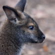 Stock Photo: Side face portrait of forest wallaby, Dendrolagus bennettianus. Cute, but endangered australlimarsupial animal, Bennett's tree kangaroo, threatened and vulnerable.