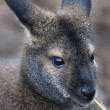 Stock Photo: Face portrait of forest wallaby, Dendrolagus bennettianus. Cute and cuddly, but endangered australlimarsupial animal, Bennett's tree kangaroo, threatened and vulnerable.