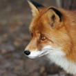 Stock Photo: Side face portrait of red fox male, vulpes vulpes, on forest background. head beautiful forest wild beast. Smart look of dodgy vulpes, skilled raptor and elegant animal.