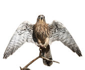 The full length portrait of a kestrel, Falco tinnunculus. Front view of a beautiful bird with opened wings, isolated on white background. Wild beauty of the feathered world. — Stock Photo