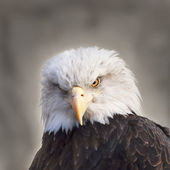 The head and shoulders of a bald eagle, haliaeetus leucocephalus, on gray background. Side face portrait of an American eagle, US national character, very beautiful bird with frowning expression. — Stock Photo