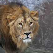 The head with shaggy mane of a lion. The young Asian lion on snow background. Winter cold is not bad weather for the King of beasts, the biggest cat of the world. Beauty of the wild nature. — Stockfoto