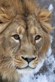The head of a lion with snowflakes on his forehead. The young Asian lion on snow background. Winter cold is not bad weather for the King of beasts. Beauty of the wild nature. — Stock Photo
