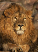 A young lion, lying in sunset light. Beauty of the wild nature. King of beasts, the biggest cat and the most dangerous raptor of the world. A portrait of the expressive animal. — Stock Photo