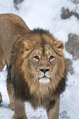 Siberian lion is looking straight into the camera. The young Asian lion on snow background. Winter cold is not bad weather for the King of beasts. Beauty of the wild nature. — Stock Photo