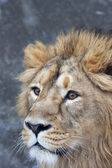 Side face portrait of an Asian lion with snowflakes on his forehead. Winter cold is not bad weather for the King of beasts, the biggest cat of the world. Beauty of the wild nature. — Stock Photo