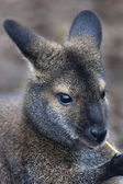 Face portrait of a forest wallaby, Dendrolagus bennettianus. Cute and cuddly, but endangered australlian marsupial animal, Bennett's tree kangaroo, threatened and vulnerable. — Stock Photo