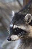 Interest in eyes of a cute and cuddly raccoon, that can be very dangerous beast. Side face portrait of the excellent representative of the wildlife. Funny expression on the animal face. — Stock Photo