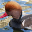 The head and front part of the body of a red-crested pochard male or rufous-crested duck, Netta rufina on blue and golden water. The web-foot fowl is the natural decoration of our lakes and ponds. — Stock Photo