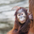 Постер, плакат: Stare of an orangutan baby nestled up his mother A little great ape is going to be an alpha male Human like monkey cub in shaggy red fur