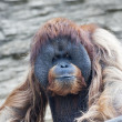 Stock Photo: Menacing stare of orangutmale, chief of monkey family. Face portrait of most expressive animal, great human-like ape. Beauty of wildlife.