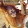 Look up of an orangutan baby in backlight. A little great ape is going to be an alpha male. Human like monkey cub in shaggy red fur. Beauty of the wildlife. — Stock Photo
