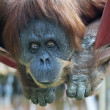 Side look of an orangutan female, hanging from the hammock. Face portrait of the most expressive animal, great human-like ape. — Stock Photo