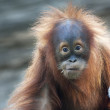 Stare of an orangutan baby with a twig in his mouth. A little great ape is going to be an alpha male. Human like monkey cub in shaggy red fur. Beauty of the wildlife. — Stock Photo