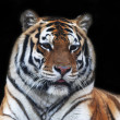 A beautiful Siberian tiger female with pink tongue. Face portrait of the lying biggest cat, isolated on black background. The most dangerous and mighty beast of the world. — Stock Photo