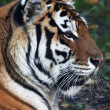 Close up with beautiful Siberitiger female. Side face portrait of lying biggest cat with open chaps. most dangerous and mighty beast of world. very powerful and dodgy raptor. — Stock Photo #37516669