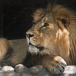 Side look of an Asian lion, calm lying in the tree shadow. The King of beasts, biggest cat of the world. The most dangerous and mighty predator of the world. Beauty of the wildlife — Stock Photo #37516855
