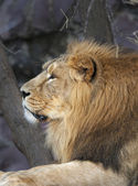 Portrait in profile of an Asian lion, calm lying on tree background. The King of beasts, biggest cat of the world. The most dangerous and mighty predator of the world. Beauty of the wildlife. — Stock Photo