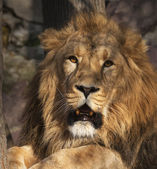 Drowsy look straight into the camera of an Asian lion, calm lying under the tree in sunset light. The King of beasts, biggest cat of the world. The most dangerous and mighty predator of the world. — Stock Photo