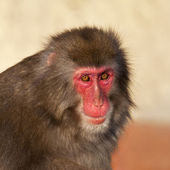 Stare of a Japanese macaque male in sunset light. Expressive red face of the monkey family chief. Human like grimace of the excellent animal. Inimitable beauty of the wildlife. — Stock Photo