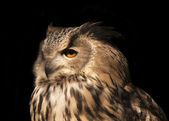 A Eurasian eagle owl, Bobo bobo, very beautiful wild animal in sunset sunshine. Long-eared bird is the very skilled raptor. Nocturnal bird with expressive amber eyes, isolated on black background. — Stock Photo