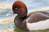 The head and front part of the body of a Common or European pochard male, Aythya ferina, or dunbird on green and golden water. The web-foot fowl is the natural decoration of our lakes and ponds. — Stock Photo