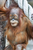 Curious look of an orangutan baby, hanging on the thick rope. A little great ape is going to be an alpha male. Human like monkey cub in shaggy red fur. Beauty of the wildlife. — Stock Photo