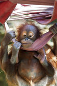 Funny pose of an orangutan baby, hanging with all paws on the canvas. A little great ape is going to be an alpha male. Human like monkey cub in shaggy red fur. Charm of the wildlife. — Stock Photo