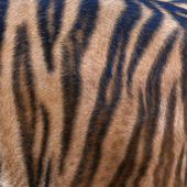 Side of a Siberian tiger body. Natural striped pattern on the orange tiger skin. Texture background of the most beautiful animal. Grace of the wildlife. — Stock Photo