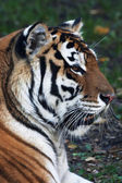 Close up with a beautiful Siberian tiger female. Side face portrait of the lying biggest cat with open chaps. The most dangerous and mighty beast of the world. The very powerful and dodgy raptor. — Stock Photo