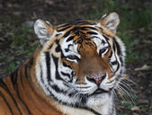 Eye to eye with a beautiful Siberian tiger female. Face portrait of the biggest cat, lying on blur gray background. The most dangerous and mighty beast of the world. Very powerful and dodgy raptor. — Stock Photo