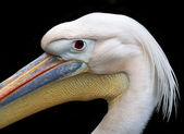 Side face portrait of an European white pelican, Pelecanus onocrotalus, isolated on black background. The head of the exotic bird with splendid plumage and huge beak with orange skin bag. — Stock Photo