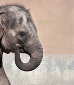 Gesture of welcome of a young Asiatic or Indian elephant female, Elephas maximus. Side face portrait of a huge, but cute and cuddly animal. Charm of the wildlife. — Stock Photo