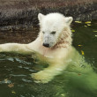A white bear cub is enjoying in pool. Bathing of the cute and cuddly animal baby, which is going to be the most dangerous and biggest beast of the world. Careless childhood of a plush teddy. — Stock Photo