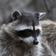 Curious look of a raccoon or washing bear. The head of cute and cuddly animal, that can be very dangerous beast. Side face portrait of the excellent representative of the wildlife. — Stock Photo #37526013