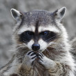 Head and hands of cute and cuddly raccoon, that cbe very dangerous beast. Side face portrait of excellent representative of wildlife. Humlike expression on animal face — Stock Photo #37526047